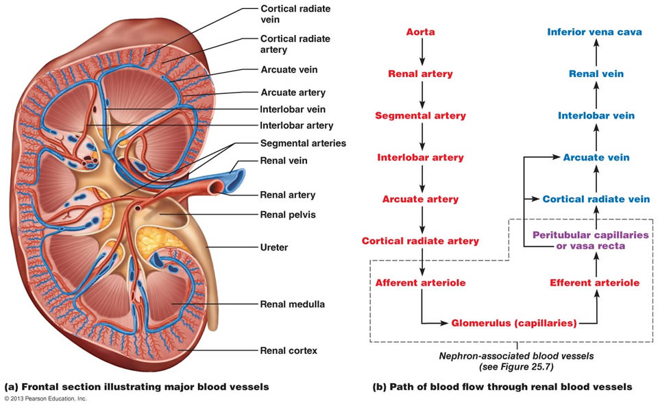 labeled diagram of abdominal vasculature mgb wiring human biology online lab / labhumanbio9aa