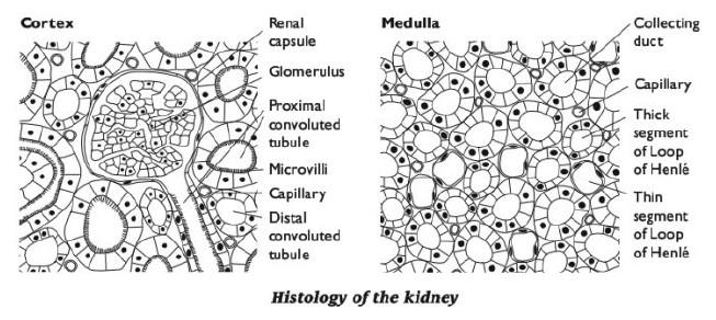 Human Biology Online Lab / Kidney Histology by Lindsay Wincek