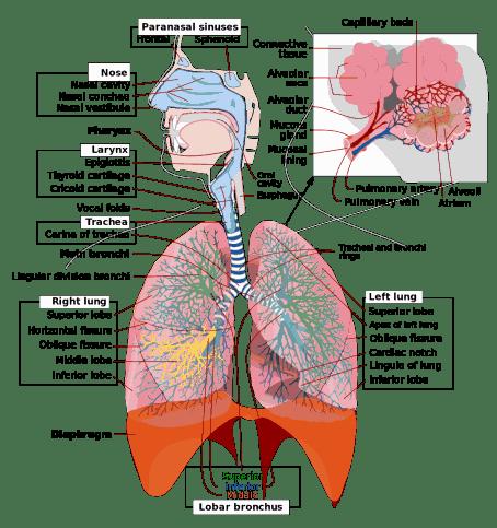 Human Respiratory system, breathing respiration