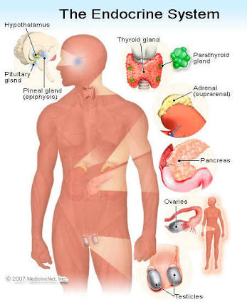 Endocrine system glands anatomy