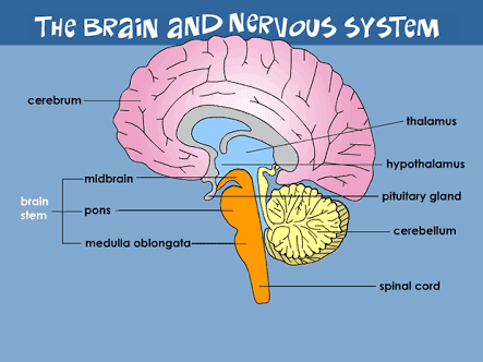 The nervous system, human brain