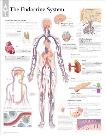 Anatomy of the endocrine system physiology of the endocrine system