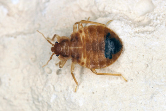 Bed bugs lived with dinosaurs and are older than bats