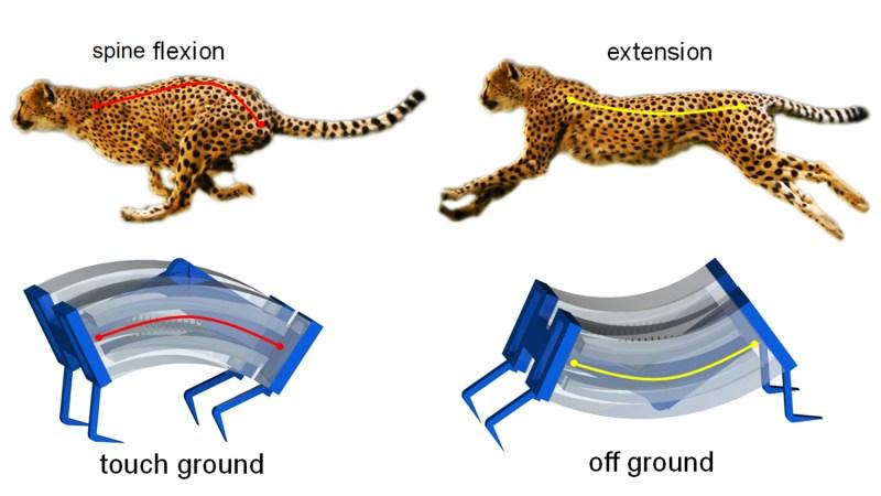 Yin fast cheetah inspired robot