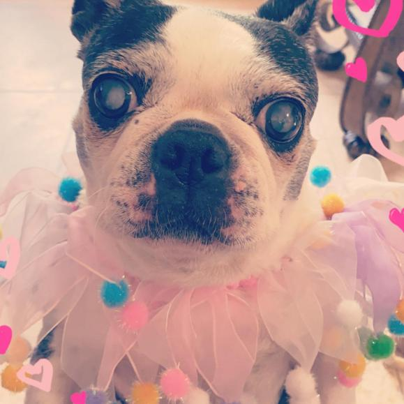 Little Miss Sweet Pea is a blind,  12-year-old Boston Terrier.