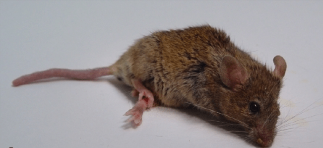 This picture shows a mouse with ALS, his hind legs are paralysed and curled up and he is small and scruffy.
