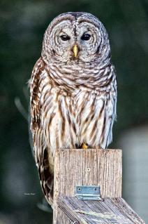 Owl--024-001
