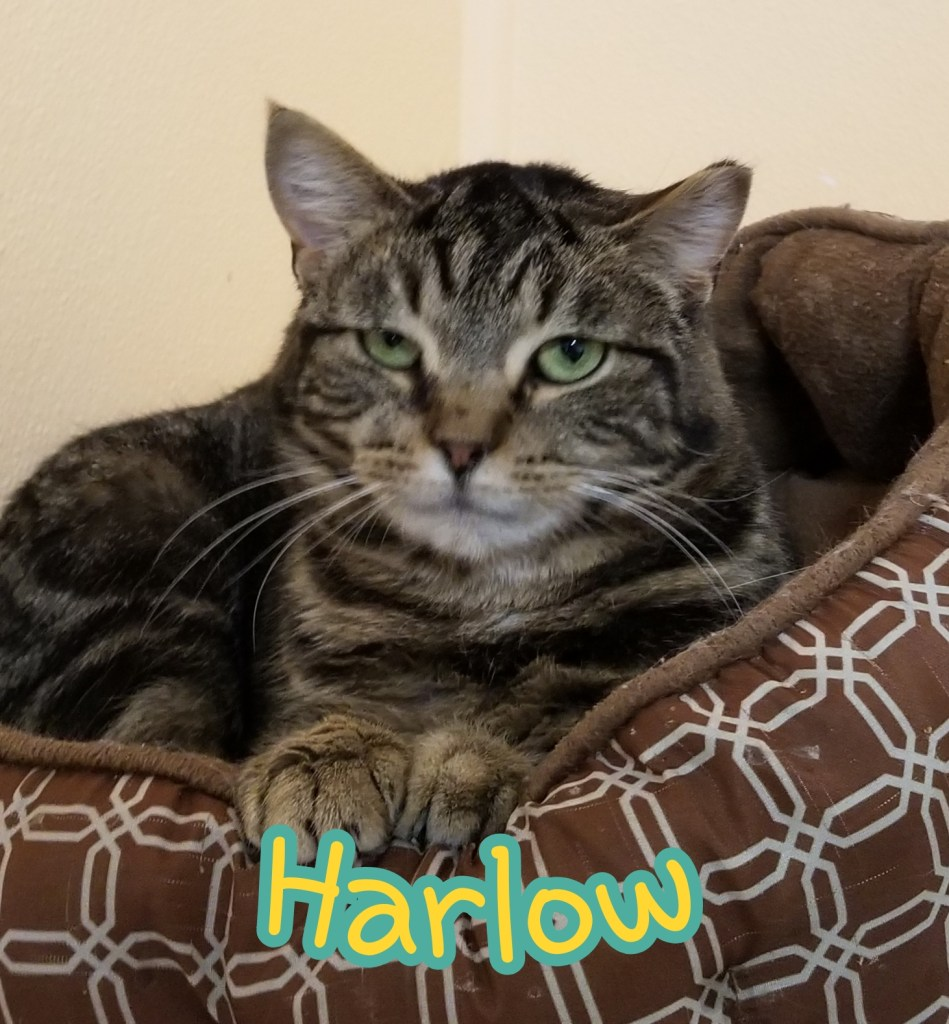 Harlow-Female Tabby, DOB 04/30/18, Loves people and affection. Would do best in a calmer home environment. Will make a great lap cat!