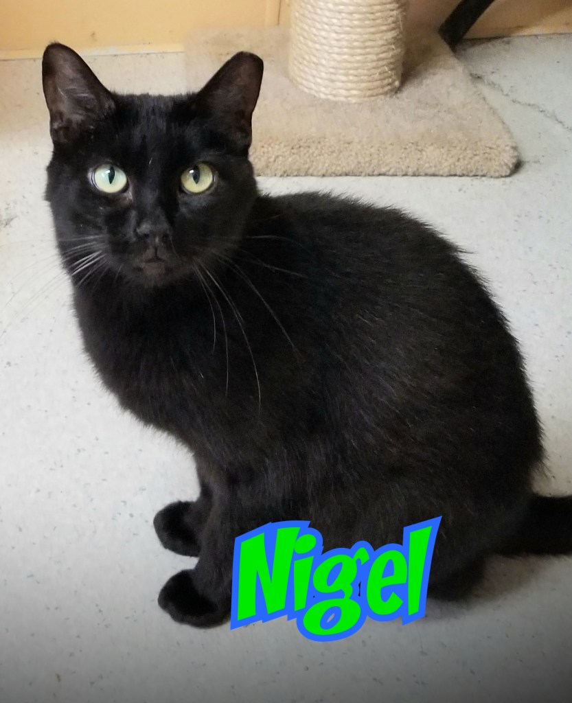 Nigel-Male, DOB 05/01/18. Nigel is a super sweet, affectionate boy. A bit on the small side but this guy's personality is BIG! Nigel will do well in just about any home type.