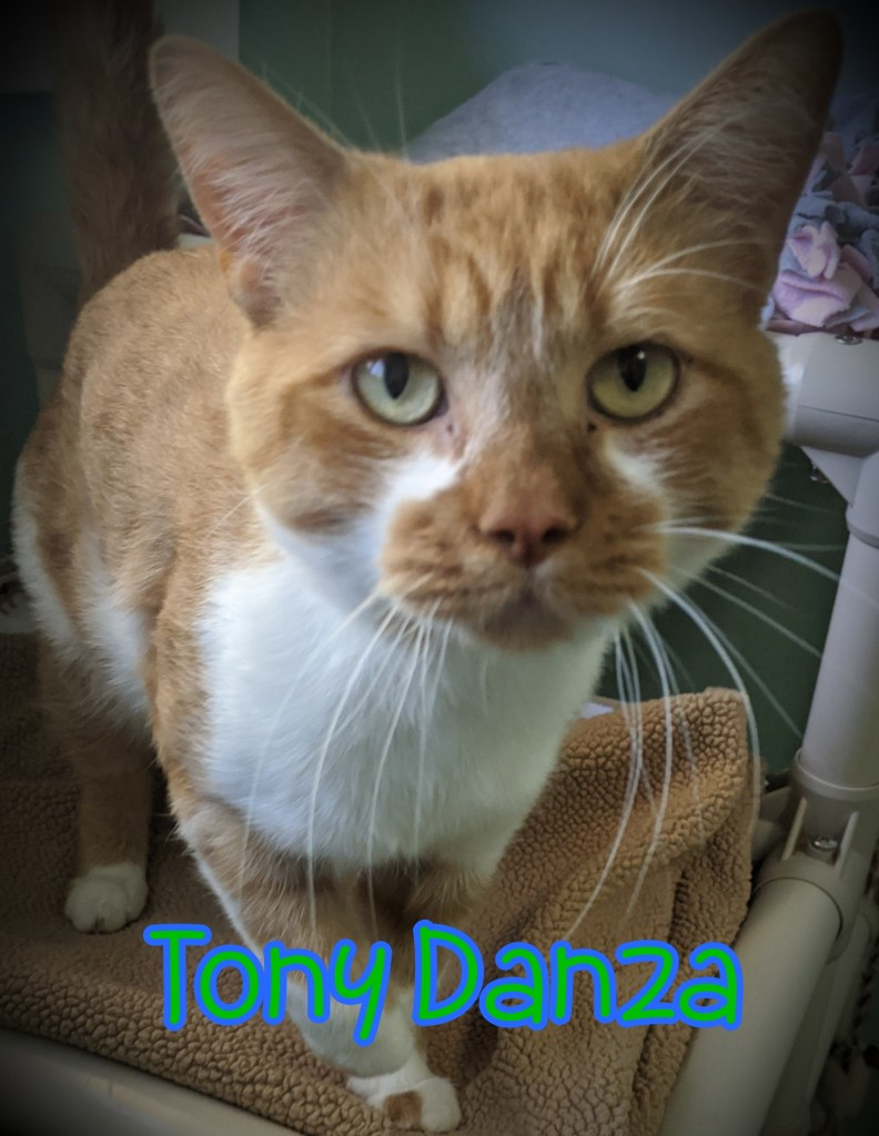 Tony Danza-DOB 05/20/20, Male. Orange & White ***FIV+*** Must go to home as only cat or with calm & socialized cats. Great with other pets and kids. Tony loves people is very affectionate and chatty! This handsome guy s also very bonded to roommate, Freddie. We would love for them to find a home together!