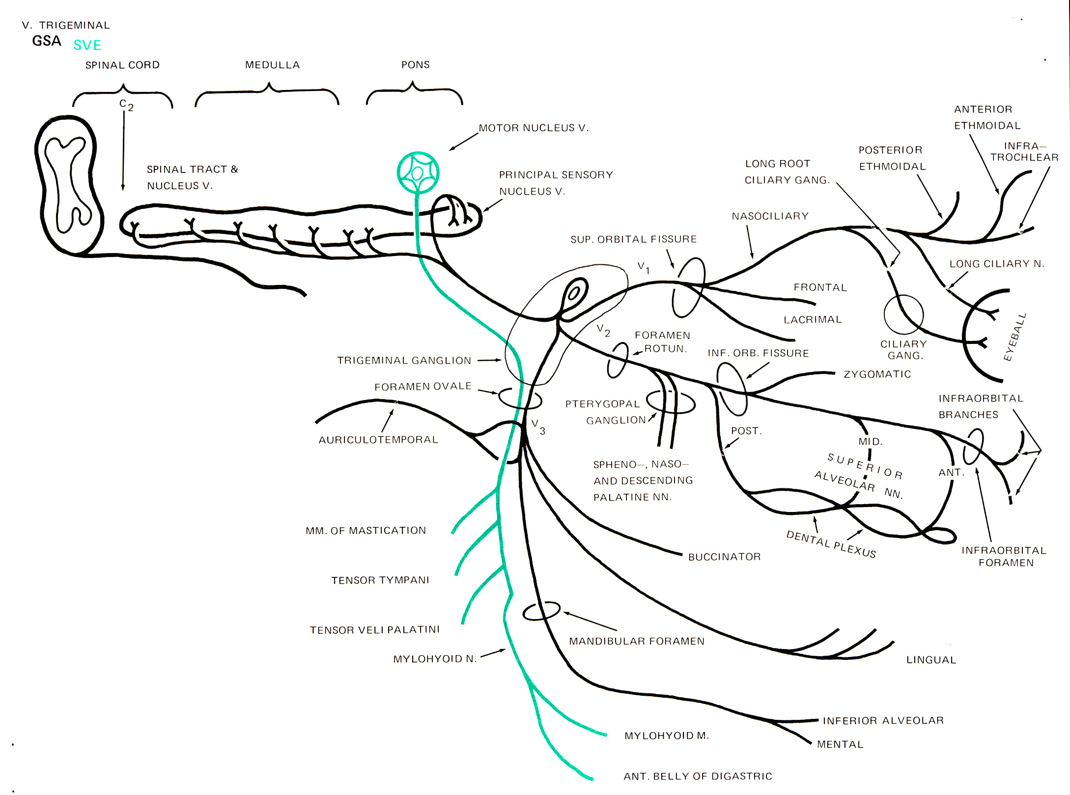trigeminal nerve diagram three phase converter wiring human gross anatomy at the pennsylvania state university facial n schematic with functional components