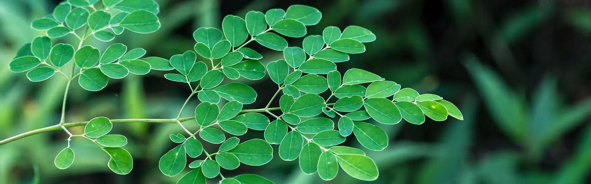Moringa leaves (Moringa oleifera) isolated on white background