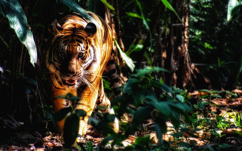Somatic Experiencing: Der Tiger