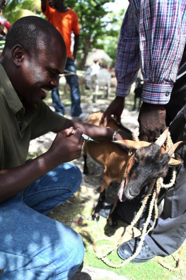 4 - Goats, deworm, Les Cayes_065
