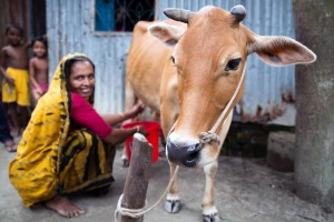 Last minute holiday gift ideas a woman in Bangladesh milking a cow.