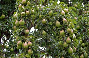 image of a pear tree