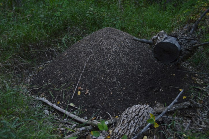 A North Dakota ant mound.