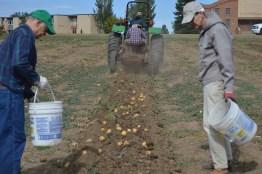 Potato harvest 2