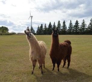 Sisters llamas 2