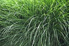 Seaport Grass