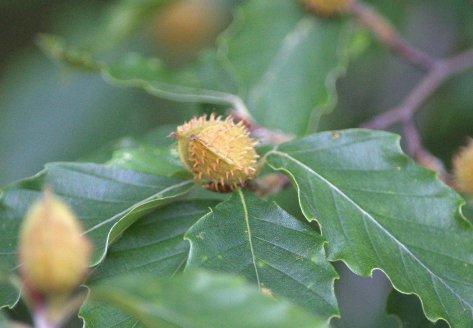 Thorn bud