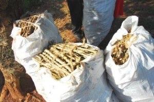 Cassava-cuttings_Humanity-Healing 2