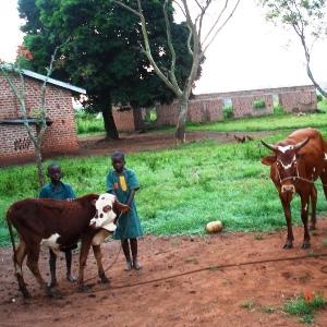 Cows at FVS