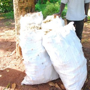 Cassava Cuttings