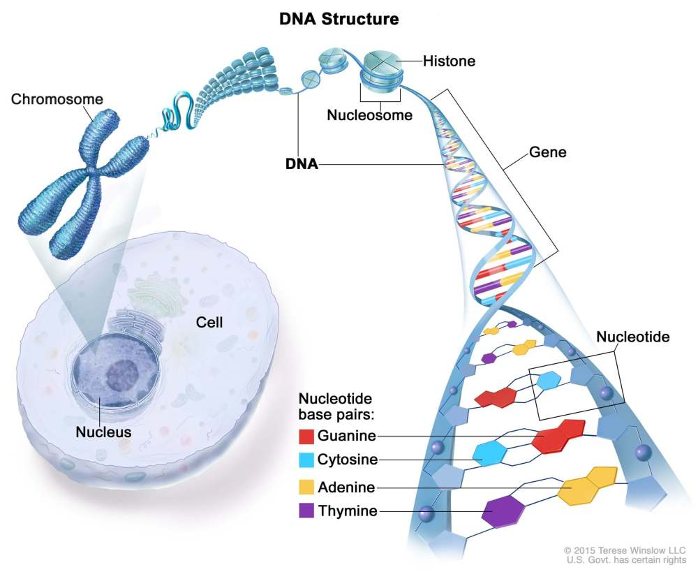 medium resolution of a simple explanation of dna structure
