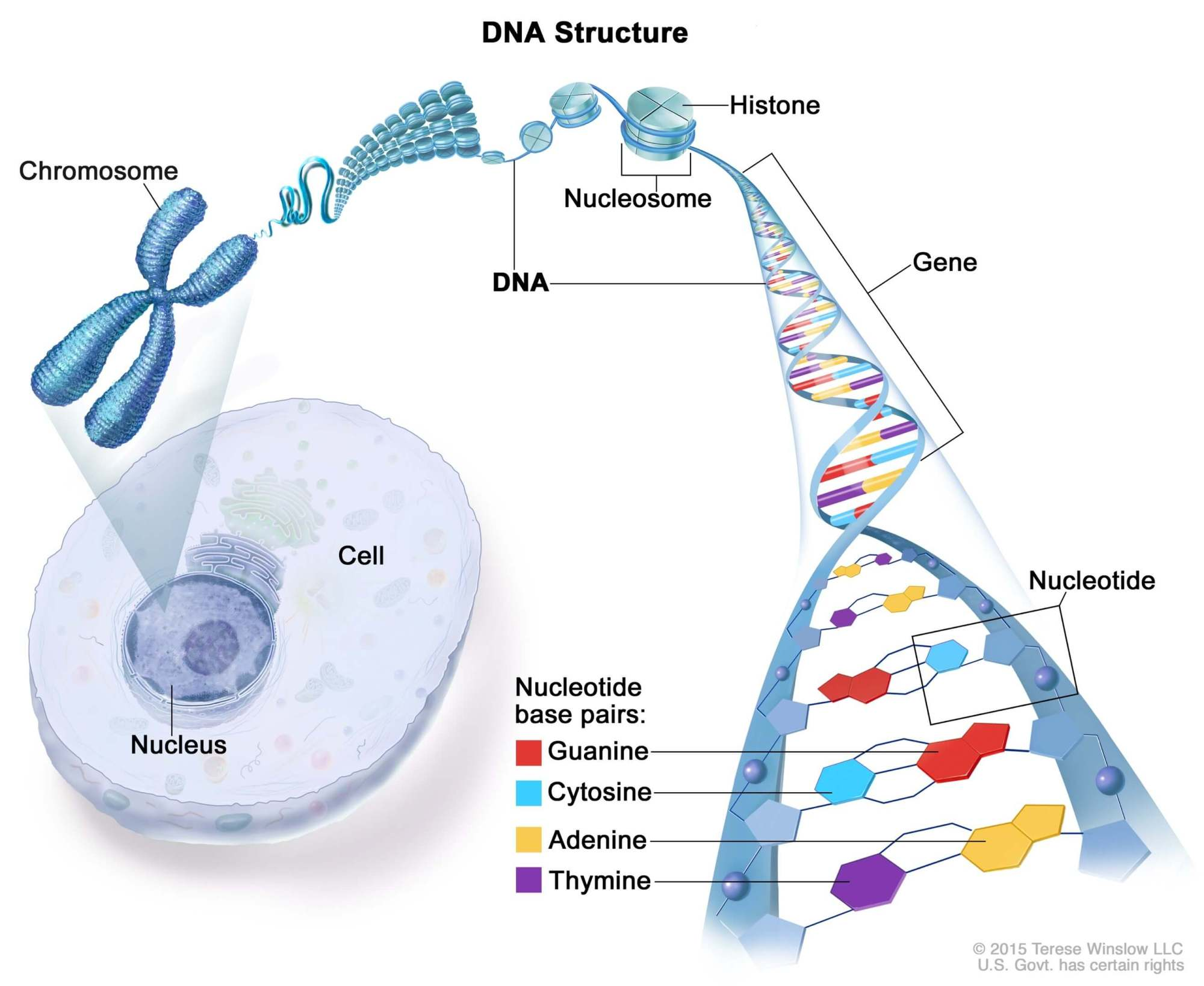hight resolution of a simple explanation of dna structure