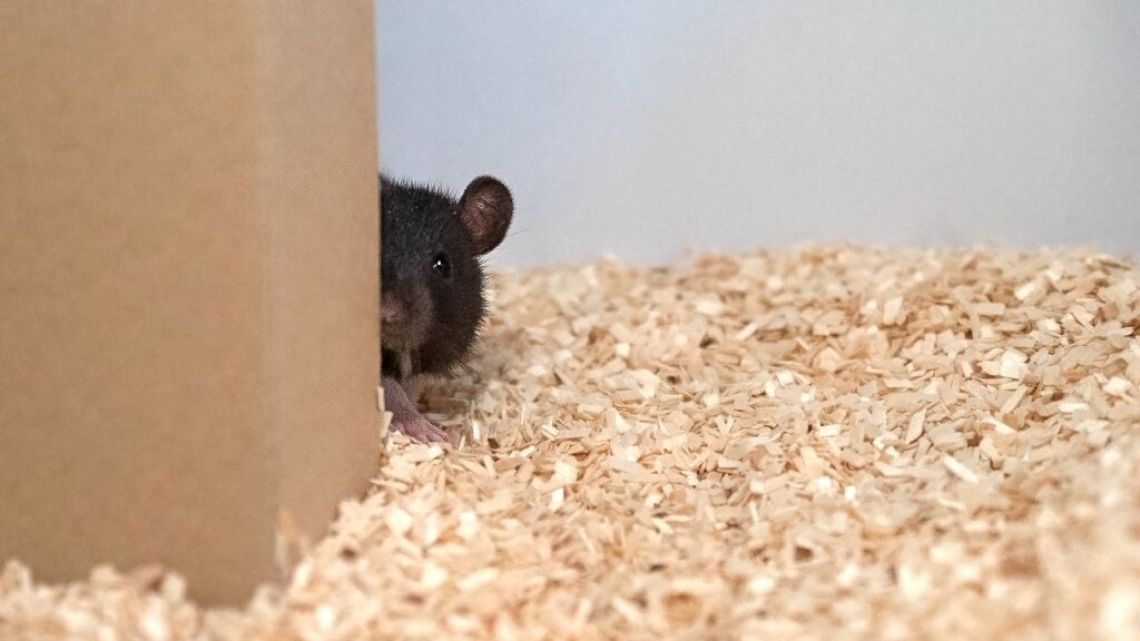 Hide and squeak: Rats 'jump for joy' while playing game