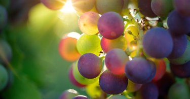 grapes in sunshine