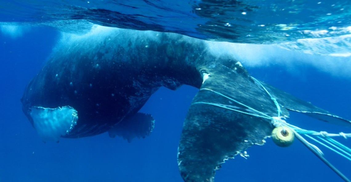 A whale with fishing gear wrapped around it's tail