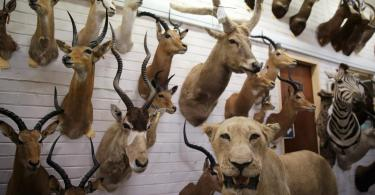 Animal trophies are seen at the entrance of a taxidermy studio in Pretoria, South Africa