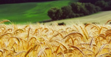 close up of wheat growing in field