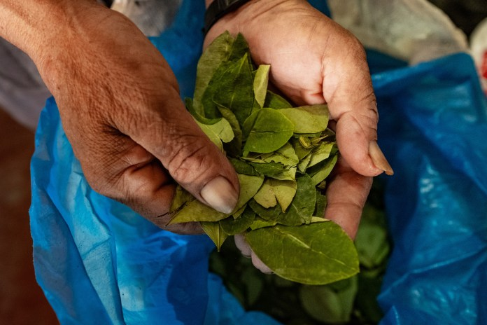 hand holding coca leaves