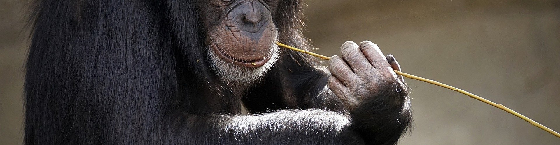 chimpanzees sitting with a strand of grass in its mouth