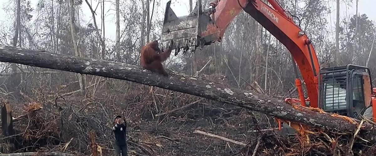 orangutan on a branch trying to stop an excavator tearing down trees