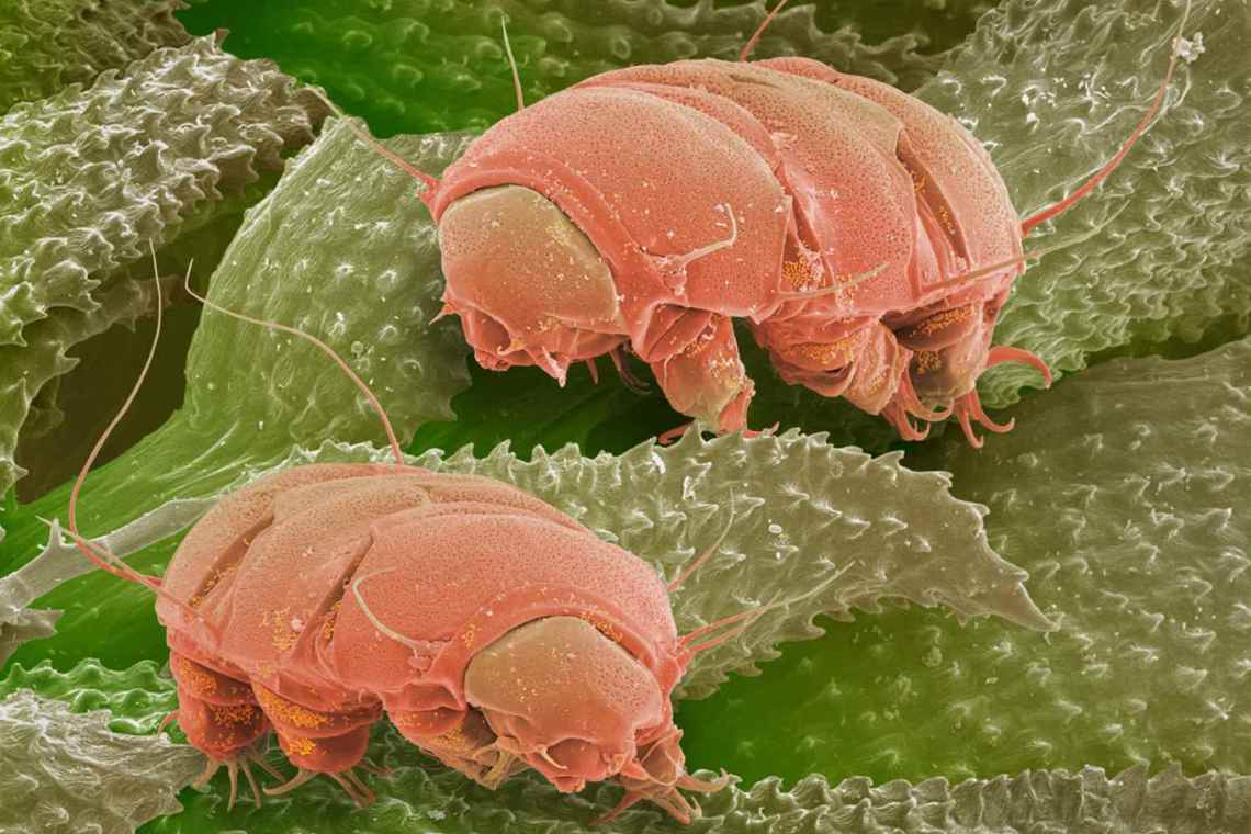 close up of water bears