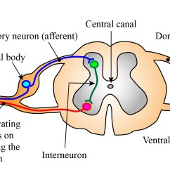 Diagram Of A Simple Reflex Arc Electric Motor Single Phase Wiring Diagrams Circuit And Spinal Reflexes