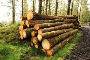 Cut down trees waiting for collection