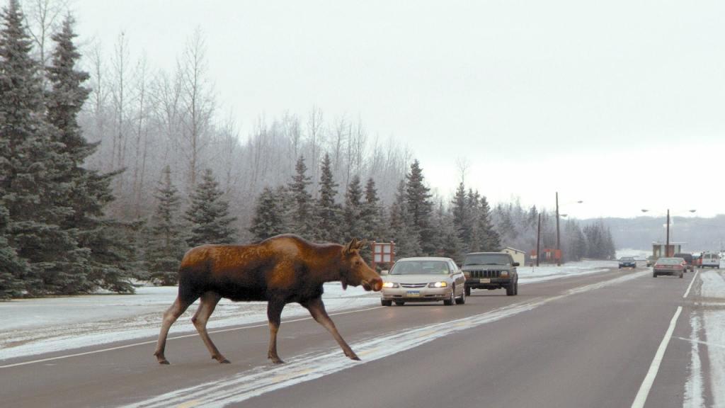 Fun Alaska facts include moose