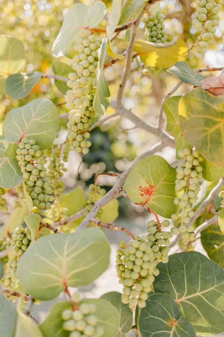 branches of green grape in wine farm
