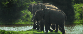 Yala elephants