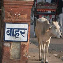 Holy cow (Agra RxR station)