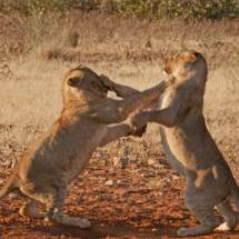 Lion 'teens' (landing punches)