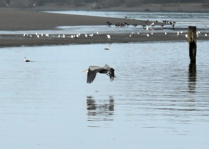 Finally, the Great Blue takes off and flies to the safety of the island where it will rest and digest.