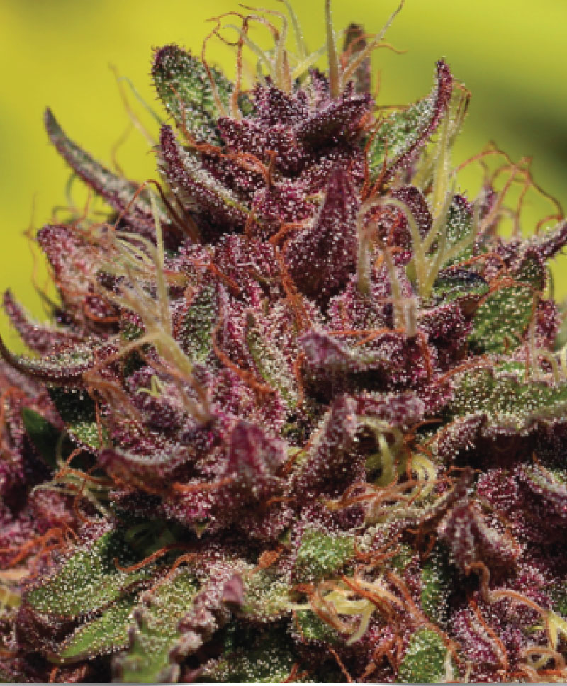 Purple Mountain Majesty Strain Photo