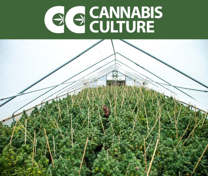 Cannabis Culture Article