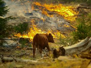 tennessee-fire-cow